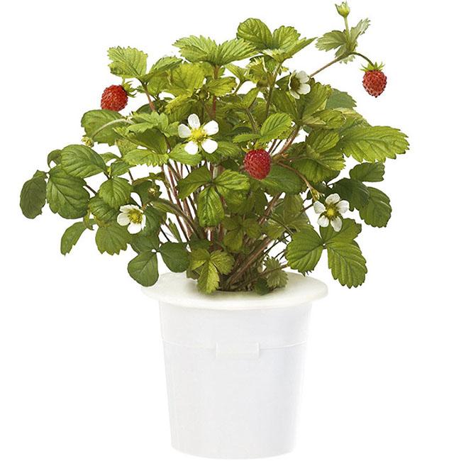 Картридж для умного сада Click and Grow ЗемляникаУмные сады и фермы<br>Благодаря Click and Grow вы сможете наслаждаться земляникой круглый год!<br><br>Цвет товара: Белый<br>Материал: Пластик